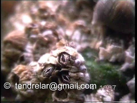 Барвинок малый - Барвинок - Травянистые растения для