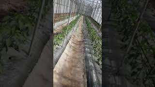 하우스 고추농사 시범재배
