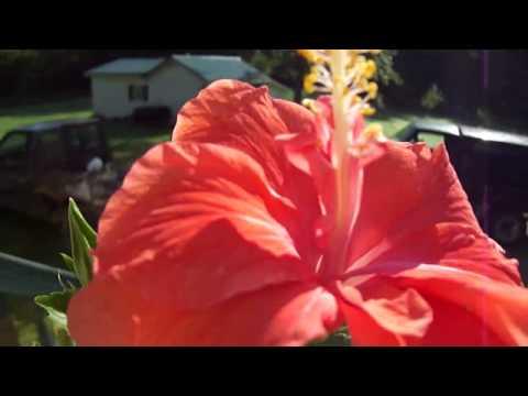 Beautiful Peach Hibiscus Tree Youtube