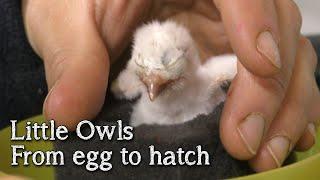 Little Owls | From Egg to Hatch | Breeding Birds of Prey