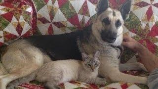 German Shepherd Jet and Emilia the cat Amazing friendship