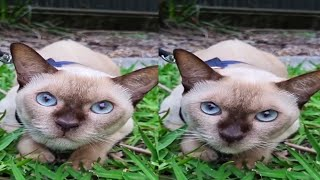 CUTE TONKINESE CAT MOMENTS