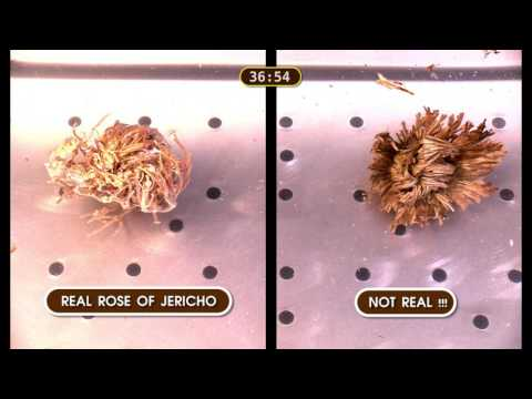 Rose Of Jericho - Beware Fake Rose Of Jericho