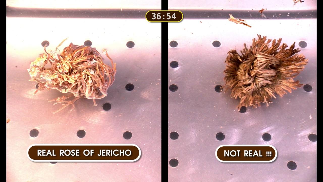 Rose of jericho - beware fake rose of jericho - YouTube