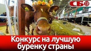 Лучшую буренку страны выбрали в Беларуси – смотрите как это было