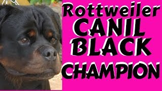 CÃES DE GUARDA - ROTTWEILER CANIL BLACK CHAMPION
