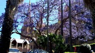 Jacaranda Tree in Sydney Australia
