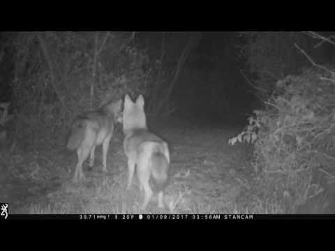 Whimpering coyote pursuing female(mating season)