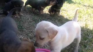 Corgi Rottweiler Mix Puppies