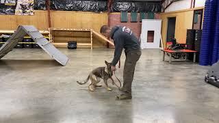 Super BAB Participant 'Vivian' 5+ Sable German Shepherd Fun Happy Energetic Personal Protection Dog