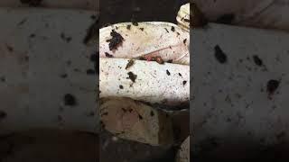 Karat Organik Solucanın Yumurtadan Çıkış anı