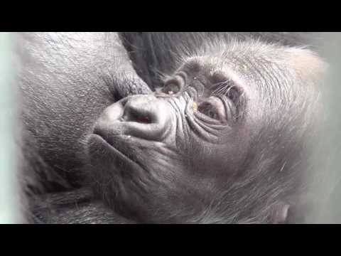 Philadelphia Zoo Welcomes Newborn Gorilla
