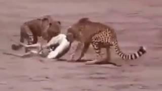 معركة بين رجال عراة ونمور في صحراء أفريقيا للاستحواذ على غزال
