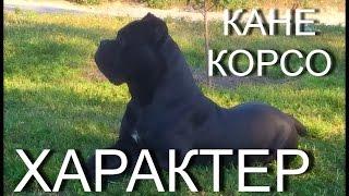 видео Собака Бульмастиф: описание породы, фото, цена щенков, отзывы