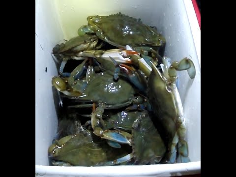 Back Bay Crabbing HOW TO CATCH Big Blueclaw Crab (Blue Claw Crabs)