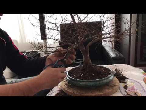 Bonsai Chinese Elm- repotting