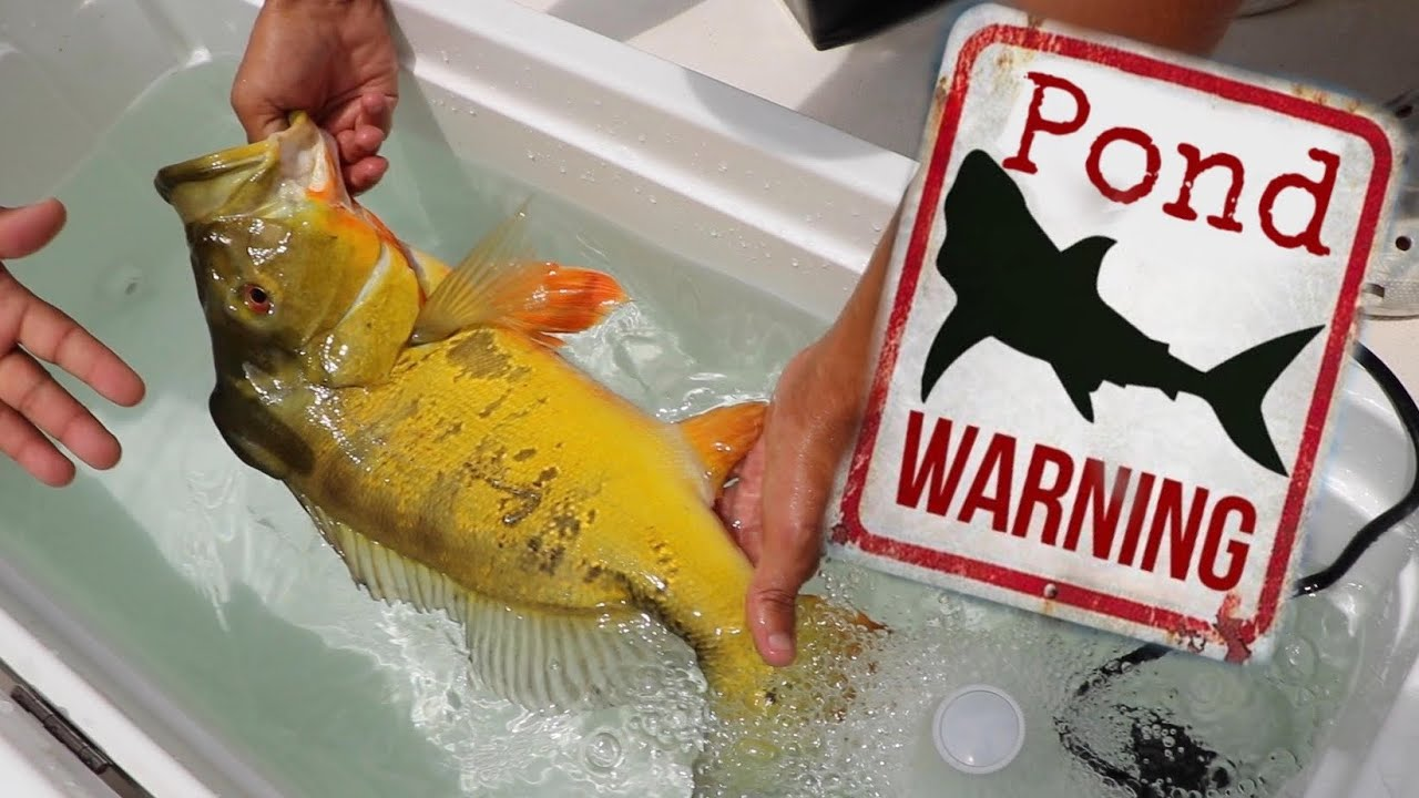 Stocking Aquarium With CRAZY AMAZON FISH *Pond MONSTER*