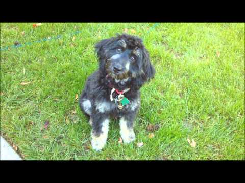 A year in the life of a mini labradoodle - What a mini labradoodle looks like