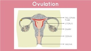 What Happens Between Periods? Ovulation/Fertility | Hygiene and You