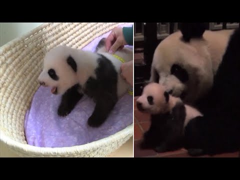 Fluffy 2-Month-Old Panda Cuddles with Mom