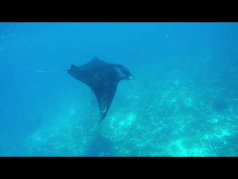 Manta rays in Indonesia