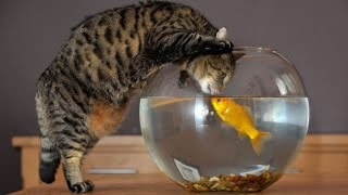 Кошки и аквариум!Приколы с кошками!Очень интересное видео!(Кошки и аквариум!Приколы с кошками!Очень интересное видео! Всем приятного просмотра! Не забываем ставить..., 2016-02-12T10:37:29.000Z)