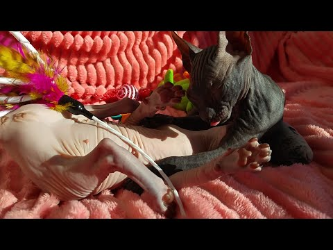 Cute sphynx kittens playing, sister & brother / DonSphynx