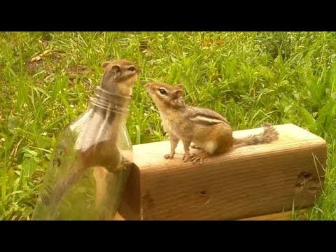 Enticing Chipmunks Into Bottles
