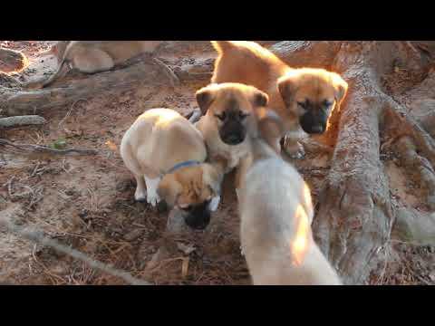 PuppyFinder.com : Anatolian Shepherd Puppies