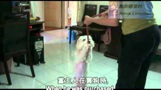 狗狗聽我的 - 咬人成性的馬爾濟斯上 (A Biting Maltese - Part 1) thumbnail