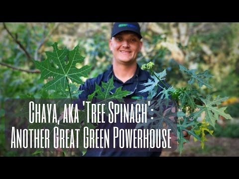 Growing Chaya: TREE SPINACH - Another Great Green Powerhouse!