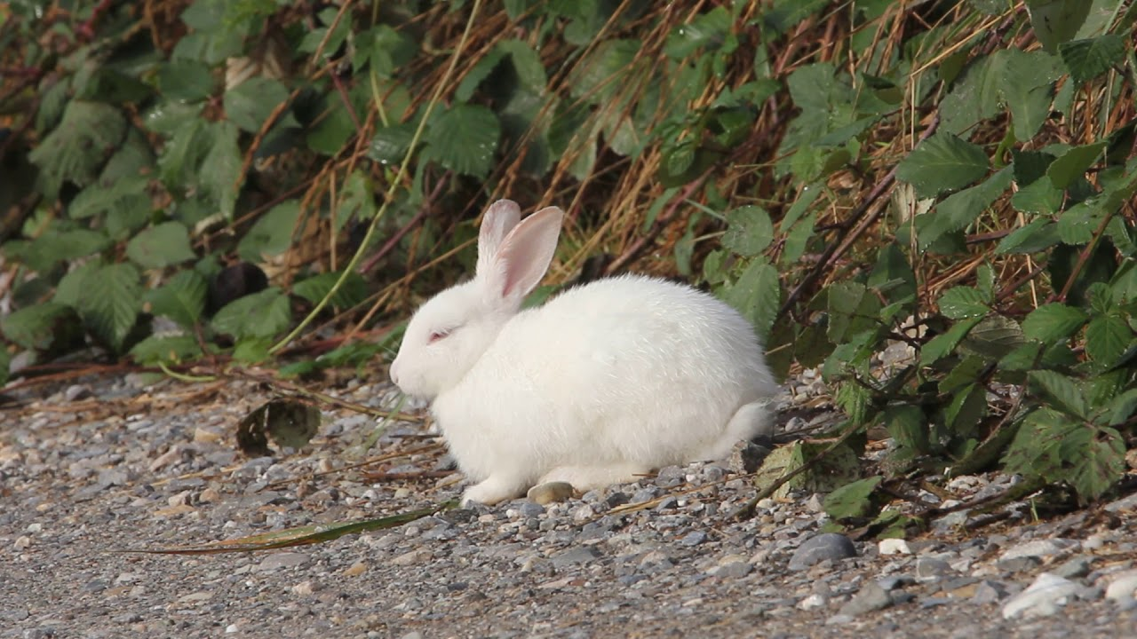 Exceptionnel LAPIN SAUVAGE - YouTube KX45