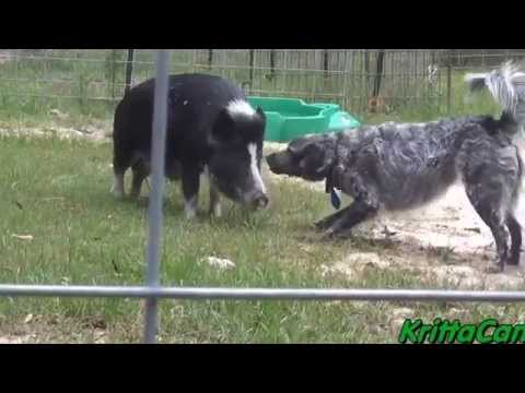 Pig VS Dog - Playing Tag