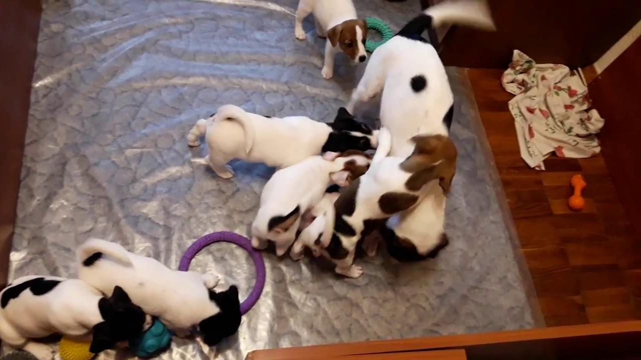 Собаки и щенки породы джек-рассел-терьер. На доске объявлений olx. Ua украина легко и быстро можно купить щенка джека рассела. Заведи друга прямо сейчас!