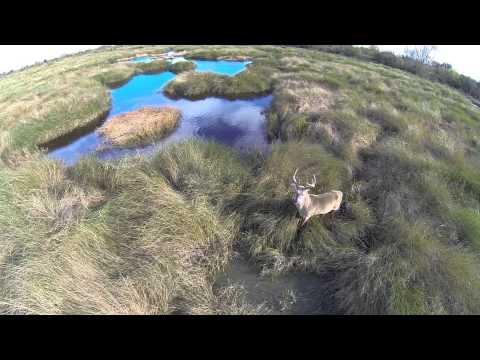 Whitetail Buck In Marsh
