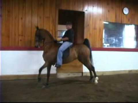 Molly O' Donnell - American Saddlebred Mare fragman