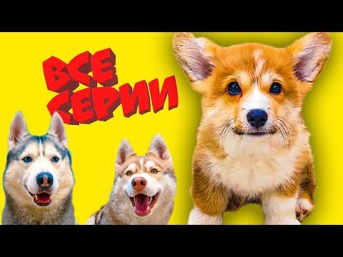 КОРГИ КОРЖИК! Все серии ЯНВАРЯ! (Хаски Бандит и Бублик) Говорящие собаки