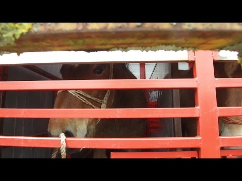 Horse & Hound investigates slaughter horse route in Europe