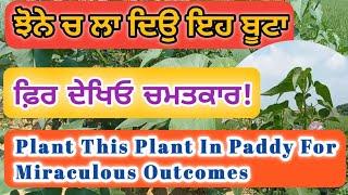 ਝੋਨੇ ਚ ਲਾ ਦਿਉ ਇਹ ਬੂਟਾ || ਕੀੜੇ ਰਹਿਣਗੇ ਦੂਰ || Plant This Plant In Paddy To  Keep Away The Pests