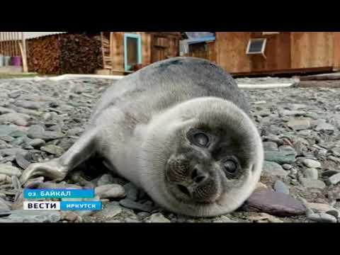 Собака вернула к жизни детёныша нерпы на Байкале