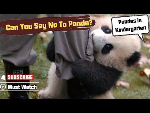 Este panda es un poco pesado (VIDEO)