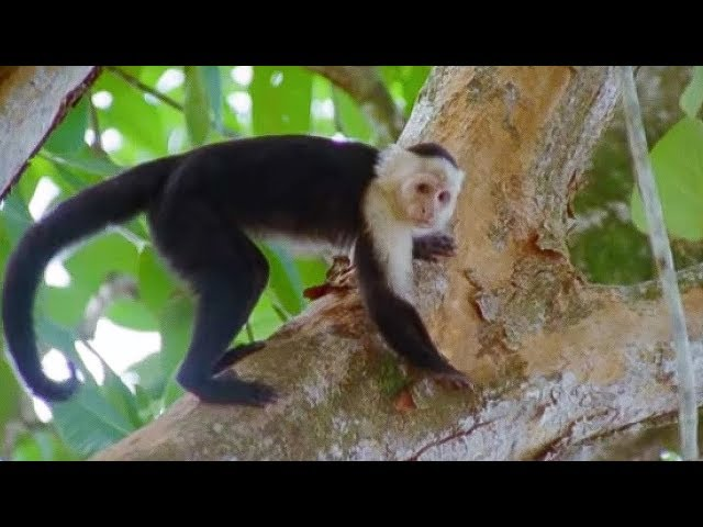 Facts about capuchin monkeys, come and see them in the wild