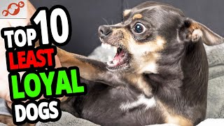 The Least Loyal Dogs – Top 10 Least Loyal Dog Breeds In The World!