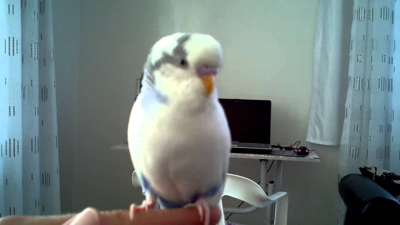 Konuşan Muhabbet Kuşu Pamuk Youtube