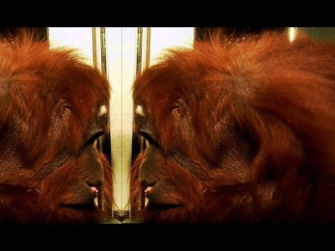 Orangutan recognises himself! | Extraordinary Animals | Earth