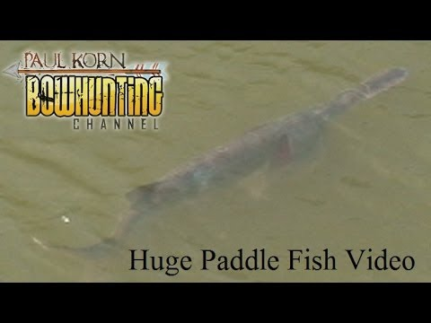 Huge Paddle Fish footage on Missouri River  near Gavins Point Dam SD