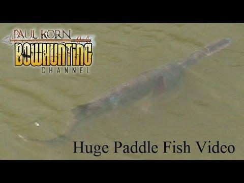 Huge Paddle Fish Footage On Missouri River  Near Gavins Point Dam SD