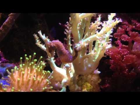 Pregnant dwarf seahorse