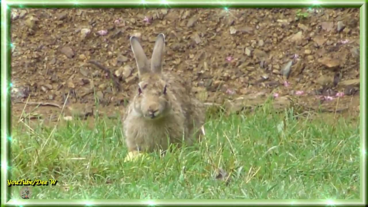 rabbit enjoying a peach wildlife in my backyard youtube