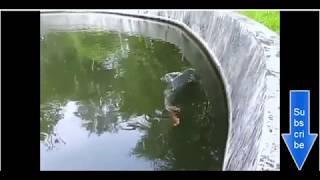 Ikan raksasa umur 26 dari Sungai amazon